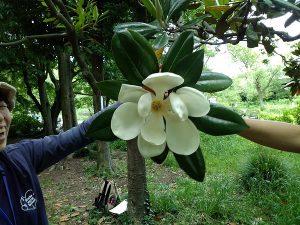 タイサンボク はちみつレモンのような匂いがしました!